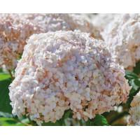 Гортензия Candybelle Marshmallow (древовидная)